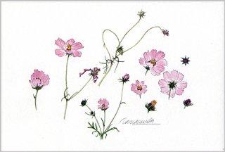 ポストカード「コスモス 花と蕾」