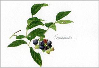 ポストカード「ブルーベリーの小枝」