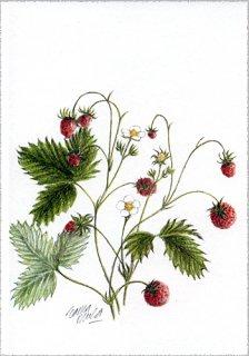 ポストカード「森のイチゴ1994」