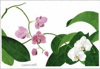 ポストカード「赤と白の胡蝶蘭」