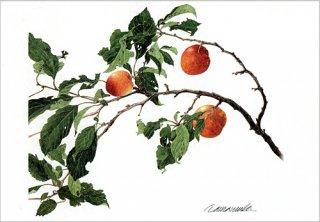 ポストカード「スモモの枝」