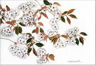 ポストカード「サクラ花咲く」