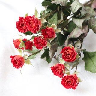 【花材】バラ・ベイブ