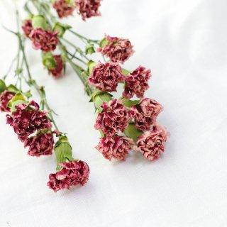 【花材】スプレーカーネーション・スカーレット