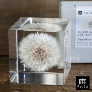 宙-sola- Sola cube タンポポ 5cm角
