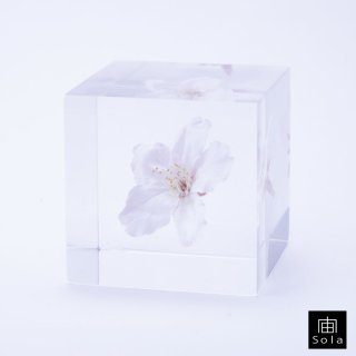 宙-sola- Sola cube サクラ(ソメイヨシノ) さくら 桜
