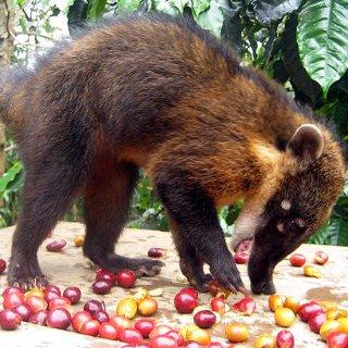 ペルー ハナグマ・コーヒー(Sサイズ)