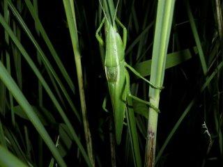 カヤキリ成虫♂1匹
