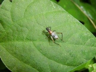 ヤマトヒバリ成虫♂1匹