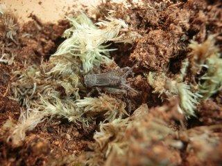 ヒメコオロギ成虫♀1匹