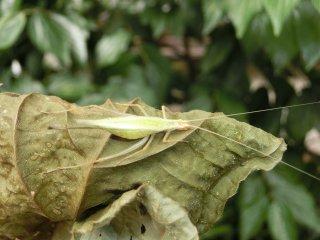 カンタン成虫♀1匹