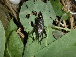 エンマコオロギ成虫♂1匹