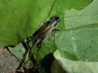 エンマコオロギ成虫♀1匹