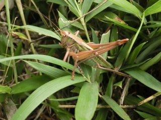 キリギリス成虫♀1匹