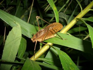 クツワムシ成虫(褐色型)♂1匹