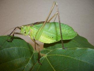 クツワムシ成虫(緑型)♂1匹