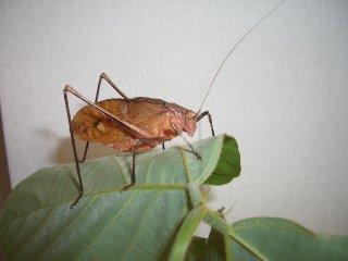 クツワムシ成虫(褐色型)1ペア
