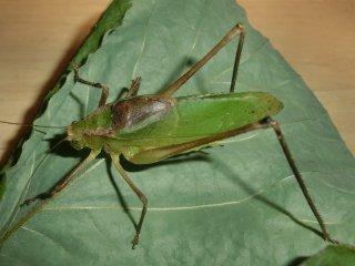 クツワムシ成虫(緑型)1ペア