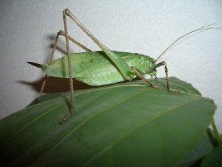 クツワムシ成虫(緑型)♀1匹