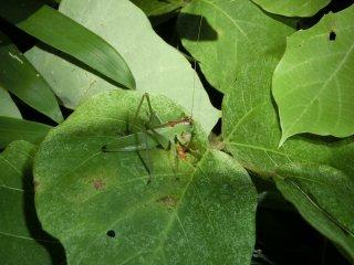 ハヤシノウマオイ成虫♀1匹