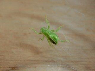 コロギス幼虫1匹