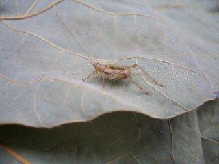クサヒバリ成虫♂1匹