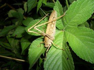 クツワムシ成虫(褐色型)♀1匹