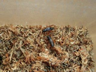 クマコオロギ成虫1ペア