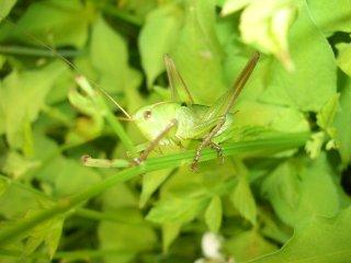 キリギリス幼虫3匹