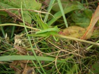 キリギリス幼虫6匹