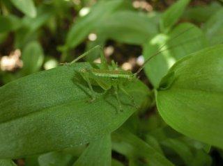 ヤブキリ幼虫6匹