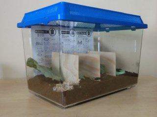 送料込み スズムシ産卵用飼育セット♀10匹(飼育ケース・エサ・経木・飼育説明書付き)※♀のため鳴きません
