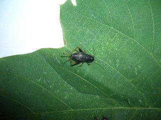 クマスズムシ成虫♀1匹(♀のため鳴きません)