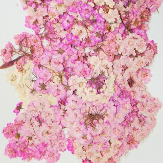 雪柳・八重ピンク