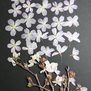 桜 雛八条