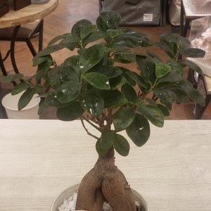 【鉢植え】ガジュマルL