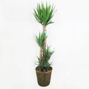 【祝花/鉢植え】観葉植物 - ユッカ 10号