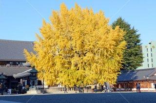 西本願寺 大銀杏