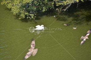 白鳥マガモ鷹三つ巴の喧嘩