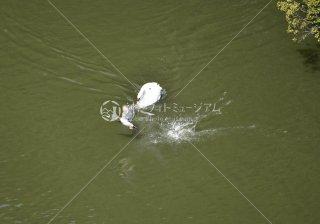 白鳥マガモの喧嘩