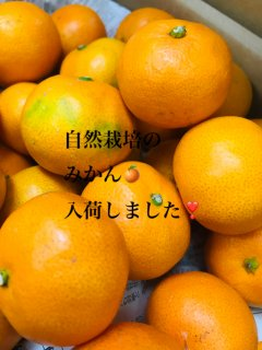 九州産 無農薬無化学肥料栽培『みかん』 3キロ