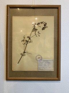 【DEAD STOCK】フランス1930〜1940年代 植物標本 額有 アンティーク VINTAGE ヴィンテージ FLOWER