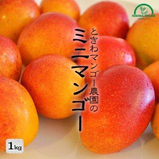 石垣島ミニマンゴー ときわ農園 ミニマンゴーギフト商品画像 1キロ