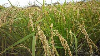 米(あけぼの米)10k