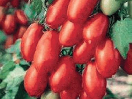 たねの森 / サンマルツァーノ トマト