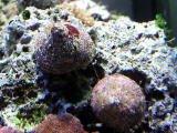 タカセ貝、ウズイシモチ貝