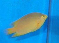 石垣島産 ネッタイスズメ幼魚