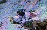 石垣島 トカラベラ 幼魚
