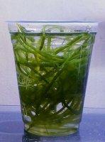 センナリヅタ コンビニコーヒーのコップ1杯分
