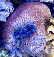ヒメシャコ貝ブルー 岩付き